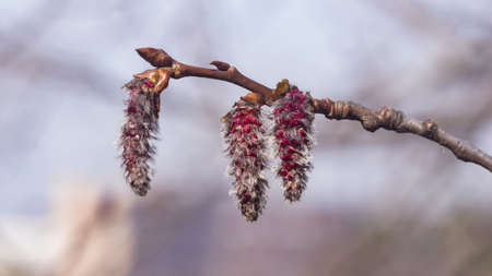 Aspen catkins on branch with bokeh background macro, selective focus, shallow DOF. Standard-Bild - 112394977