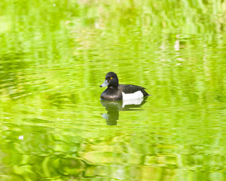 Male Tufted Duck or Aythya fuligula swimming in river, close-up portrait, selective focus, shallow DOF. Standard-Bild - 112394979
