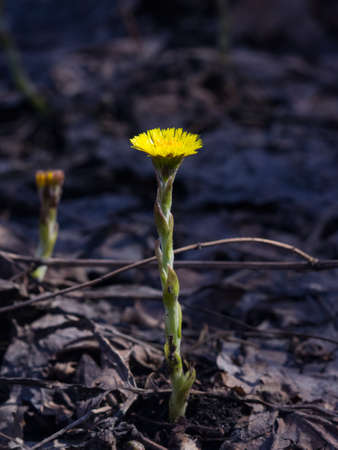 Flower in early spring, blooming coltsfoot, tussilago farfara, macro with bokeh background selective focus, shallow DOF. Standard-Bild - 112395005