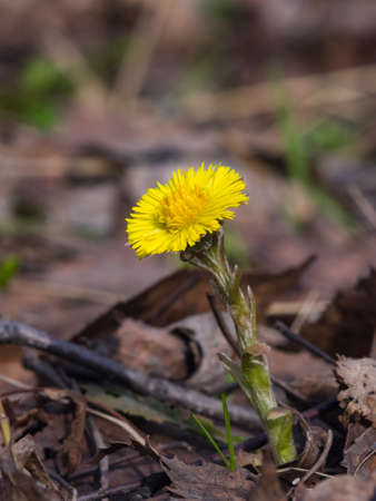 Flower in early spring, blooming coltsfoot, tussilago farfara, macro with bokeh background selective focus, shallow DOF. Standard-Bild - 112395007
