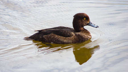 Female Tufted Duck or Aythya fuligula swimming in pond, close-up portrait with reflection, selective focus, shallow DOF. Standard-Bild - 112394895