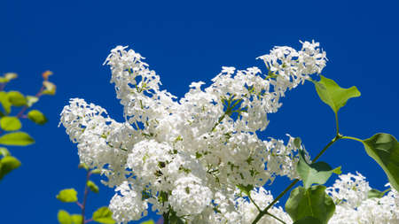 White flowers on Common lilac or Syringa vulgaris macro against blue sky, selective focus, shallow DOF.