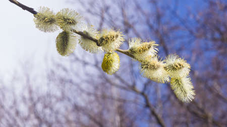 Branch of blossoming willow with catkins on bokeh background, selective focus, shallow DOF. Banque d'images - 116235117