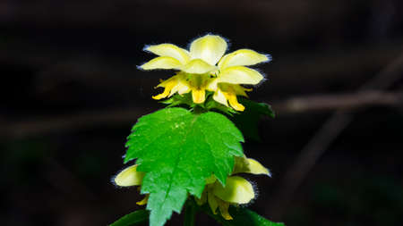 Yellow archangel or artillery plant, Lamium Galeobdolon, flowers and leaves close-up with dark bokeh background, selective focus, shallow DOF. Imagens