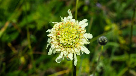 Cream Pincushions or Scabious, Scabiosa Ochroleuca, flower close-up, selective focus, shallow DOF.