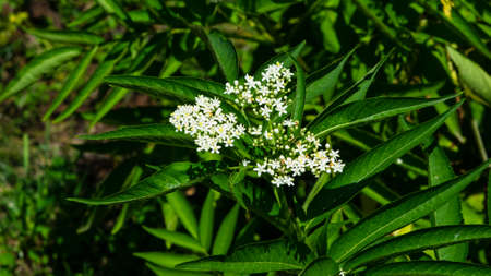 Blooming danewort dwarf elderberry or elderwort, Sambucus ebulus, close-up, selective focus, shallow DOF.
