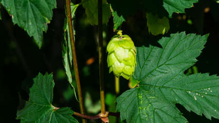 Green flower cones on Common Hop, Humulus Lupulus, close-up, selective focus, shallow DOF. 版權商用圖片
