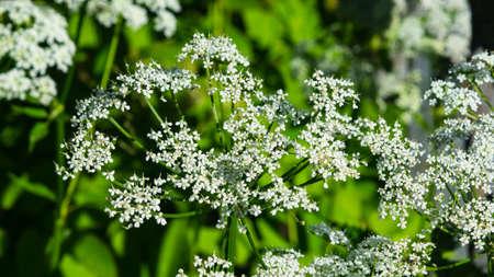 Aegopodium podagraria bishops weed flower macro, selective focus, shallow DOF.