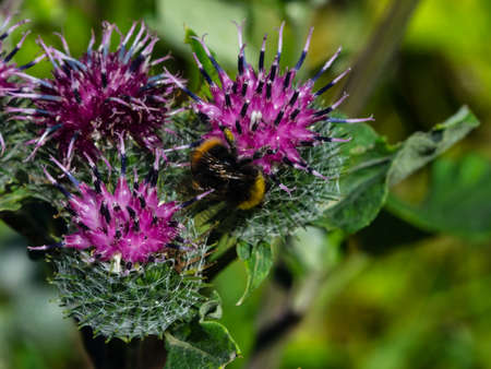 Bumblebee on blooming wooly or downy burdock, arctium tomentosum, macro, selective focus, shallow DOF.