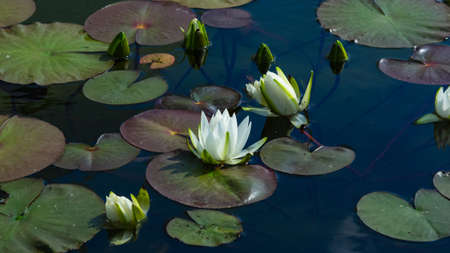 European White Waterlily, Water Rose or Nenuphar, Nymphaea alba, flowers at pond close-up, selective focus, shallow DOF.