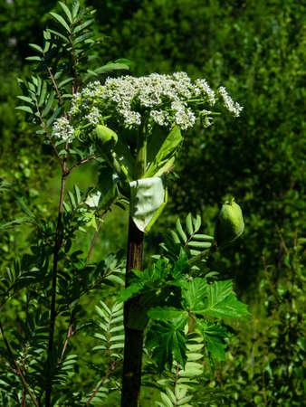 Flowers on dangerous plant Hogweed Sosnowski, Heracleum sosnowskyi, closeup, selective focus, shallow DOF. Фото со стока