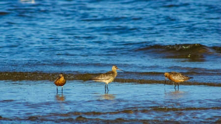 Group Bar-tailed Godwits or Limosa lapponica walk at seashore in waves, portrait, selective focus, shallow DOF.