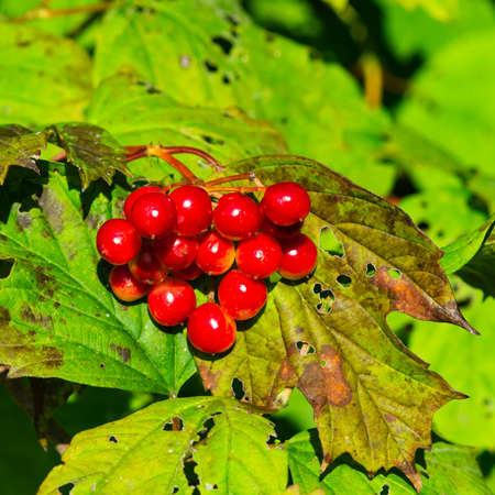 Red berries of a Guelder rose or Viburnum opulus, close-up selective focus, shallow DOF.