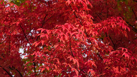 Leaves of Manchurian Maple or Acer mandshuricum in autumn sunlight background, selective focus, shallow DOF. Фото со стока