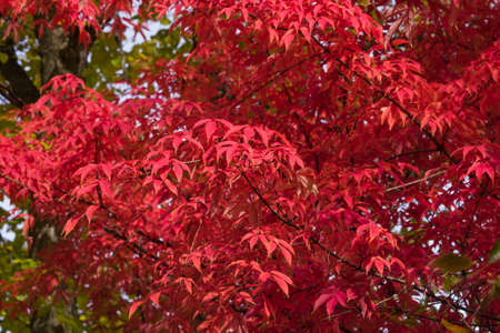 Leaves of Manchurian Maple or Acer mandshuricum in autumn sunlight background, selective focus, shallow DOF. 写真素材