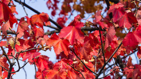 Red leaves of Norway Maple or Acer platanoides in autumn sunlight background, selective focus, shallow DOF. 写真素材