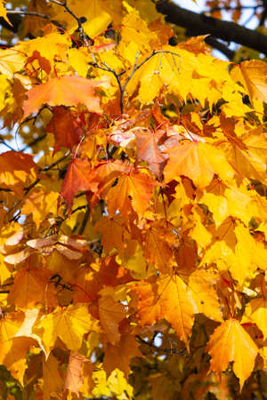 Hojas de arce de Noruega o platanoides de Acer en otoño de fondo la luz del sol, enfoque selectivo, DOF bajo. Foto de archivo