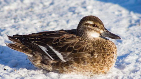Garganey duck or Spatula querquedula female on snow close-up portrait in winter, selective focus, shallow DOF.
