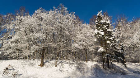Russian winter background with tree branches in snow, selective focus.