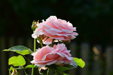 Pink rose Banco de Imagens - 87390132