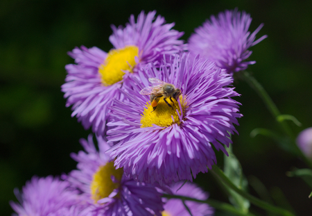 mellifera: bee on a aster Stock Photo