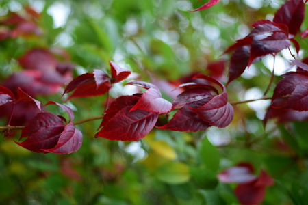 red leaves branch Stock Photo