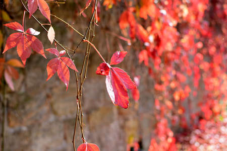 beautiful red leaves Stock Photo