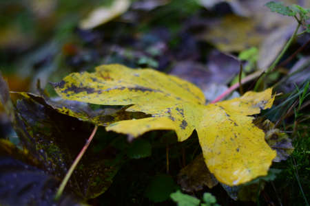 skirts: yellow maple leaf on forest floor Stock Photo