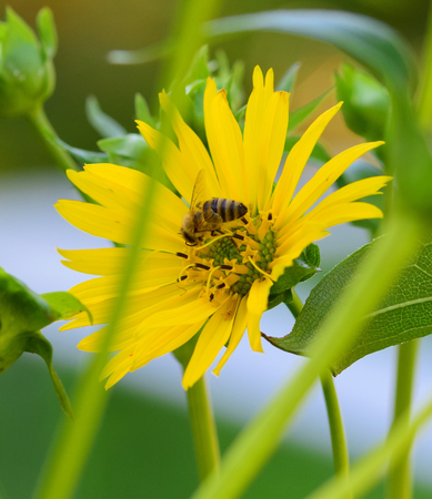 bee on a yellow flower Stock Photo