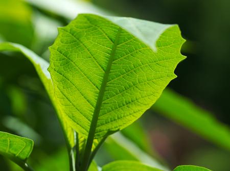 tilia cordata: Green leaf