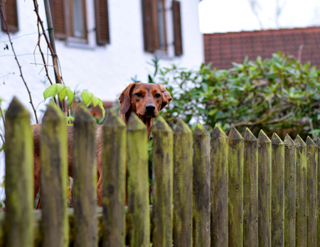 Dog at the garden fence