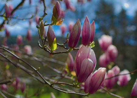 Shining magnolias Stock Photo