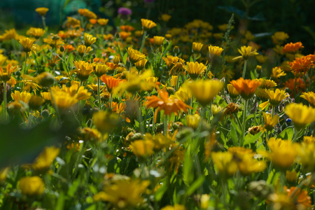 botanics: yellow flowerbed