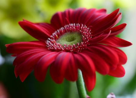 beautiful gerbera macro 写真素材