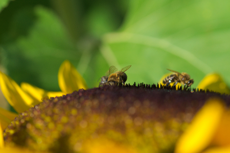 bees on a sunflower 写真素材
