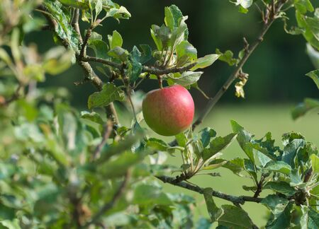 lonley apple on a tree Stock Photo