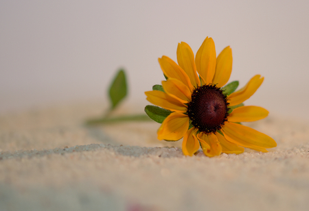 echinacea: yellow Echinacea Stock Photo