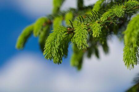 fir branch 写真素材