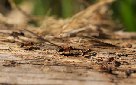 red wood ants