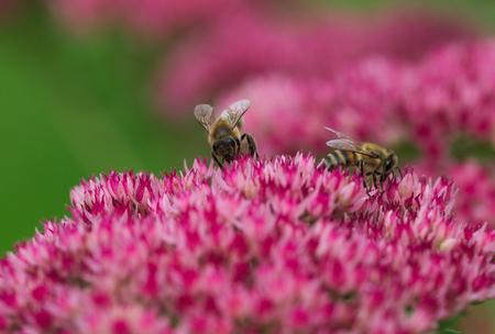bee on flower: beautiful bee