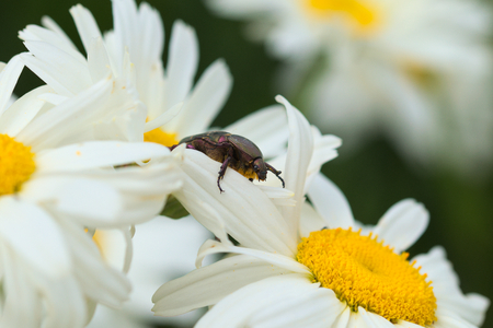Cetonia aurata flower