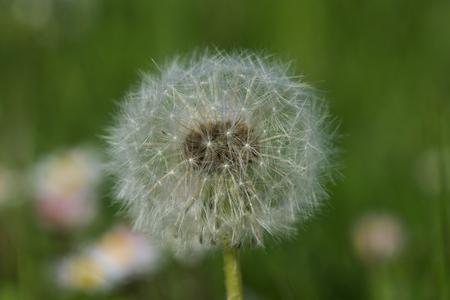 dandelion close up