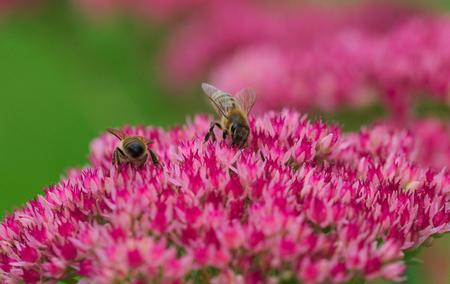 bee on flower: bee macro Stock Photo