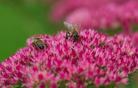 bee on flower: little bees