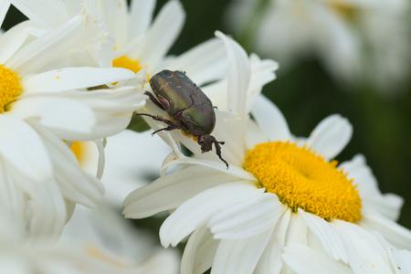 Cetonia aurata bug on a chamomile Stock Photo