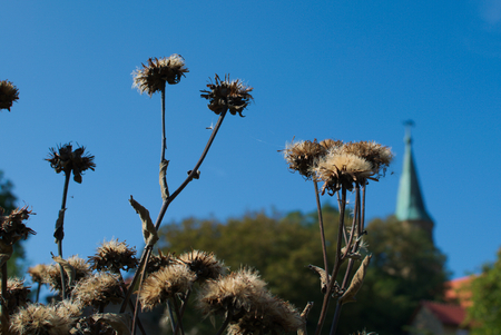 swelled: withered thistles Stock Photo