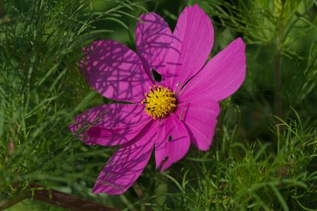 beautiful pink cosmos bipinnatus Stock Photo