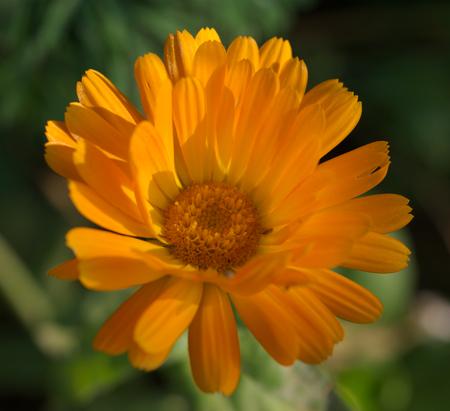 pot marigold: marigold close up