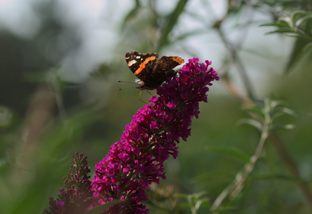 admiral butterfly on the flower. Stock Photo