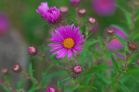 Astar, purple flower